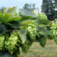 Fresh Hops on the vine - Vancouver Craft Beer